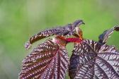 Dehiscing on hazel leaves — Stock Photo