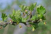 Dehiscing on gooseberry bush bud — Stock Photo
