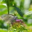 Stock Photo: Black-veined white butterfly on flower