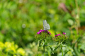 Black-veined white butterfly on a flower — Stock Photo