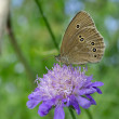 Woodland Ringlet butterfly on a widow flower — Stock Photo