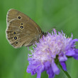 Woodland Ringlet butterfly on widow flower — Stock Photo #32016705