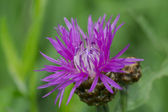 Creeping thistle flower — Stock Photo
