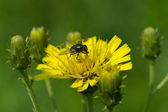 Fly on a sow-thistle flower — Stock Photo