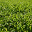 Seamless green grass background — Foto Stock
