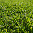 Seamless green grass background — Stock fotografie