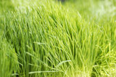 Young juicy green sprouts of the wheat — Stock Photo