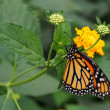 Monarch butterfly sucking nectar — Stock Photo