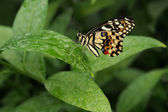 Exotic butterfly on green leaf — Stock Photo