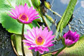 Three Water Lily — Stock Photo