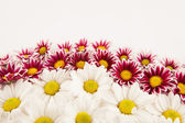 Daisy frame — Stock Photo