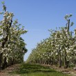Orchard with fruit trees in blossom — Stock Photo #45096639