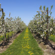 Orchard with fruit trees in blossom — Stock Photo