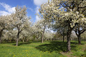 Orchard with cherry trees in blossom, Haspengouw, Belgium — Stock Photo