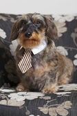 Cute dachshund with tie — Stock Photo
