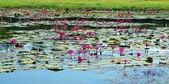 Lake lily — Stock Photo