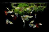 Fish guppy pet isolated on black background — Stock Photo