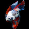 Siamese fighting fish, betta splendens isolated on black background — Stockfoto