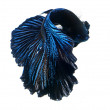 Siamese fighting fish, betta splendens isolated on white background — Stock Photo