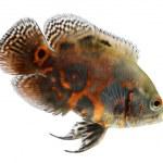 Oscar fish isolated on white background — Stock Photo