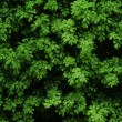 Natural green bush texture — Stock Photo #29979985