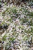 Sakura petal on ground — Stock Photo