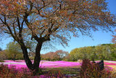 Landscape with pink flowers, pink moss, shibazakura — Stock Photo