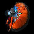 Siamese fighting fish, betta fish on black background — 图库照片