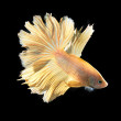 BETTA FISH on black background — Stockfoto