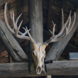 Old buffalo skull hanging on wooden wall — Foto de Stock