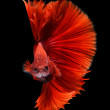 Siamese fighting fish, betta splendens isolated on black background — 图库照片