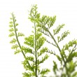 Fern leaves isolated on white background — Stock Photo