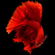 Siamese fighting fish, betta splendens isolated on black background — Stock Photo