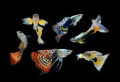 Fish guppy pet isolated on black background — Stock Photo