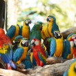 Macaws parrot bird on location — Stock Photo
