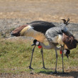 Wildlife, african crowned crane bird — Stock Photo