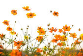 Yellow cosmos flower isolated on white background — Stock Photo
