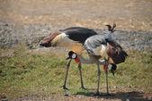 Przyrody, afryki koronowany żuraw ptak — Zdjęcie stockowe