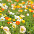 Poppy flower field in spring — Stock Photo