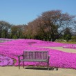 Shibazakura park with bench — Stock Photo #32163925
