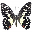 Beautiful Black and White Butterfly — Stock Photo