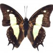 Giant Emperor Butterfly — Stock Photo