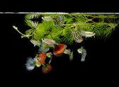 Pet ryby paví očko — Stock fotografie