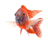 Red cichlid fish — Stock Photo