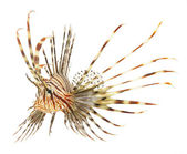 Lion fish isolated — Stock Photo