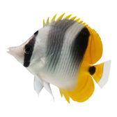 Butterflyfish reef fish — Stock Photo