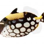 Clown triggerfish — Stock Photo #33612709