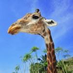 Giraffe — Stock Photo #33614229