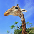 Giraffe — Stock Photo #33614229