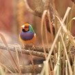 gouldian finch — Stock Photo
